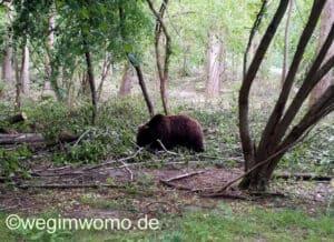 Bär bei der Futtersuche im Bärenwald Müritz