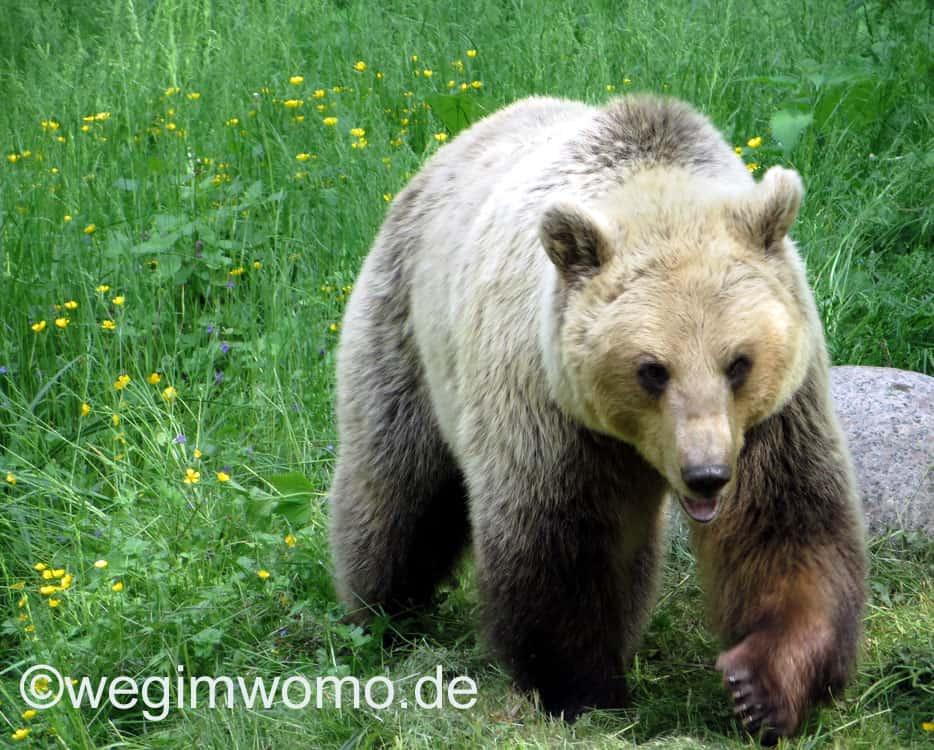 ein befreiter Bär